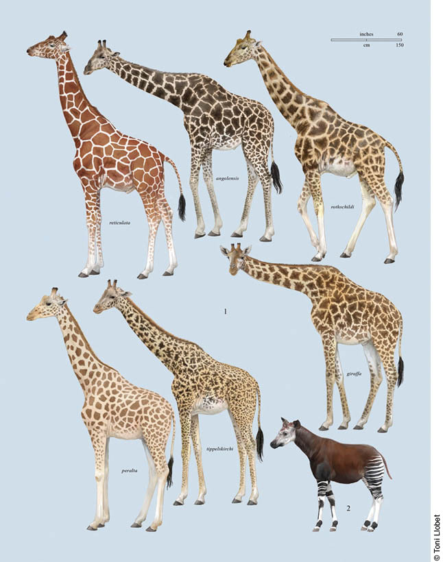 an analysis of the similarities between okapis and giraffes These graphs compare the measured individual cervical vertebrae lengths of  fossil  the proportions of the vertebral column in the giraffe and okapi are nearly  identical  a close examination of the individual vertebrae slopes revealed a.